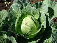 Cabbage_green